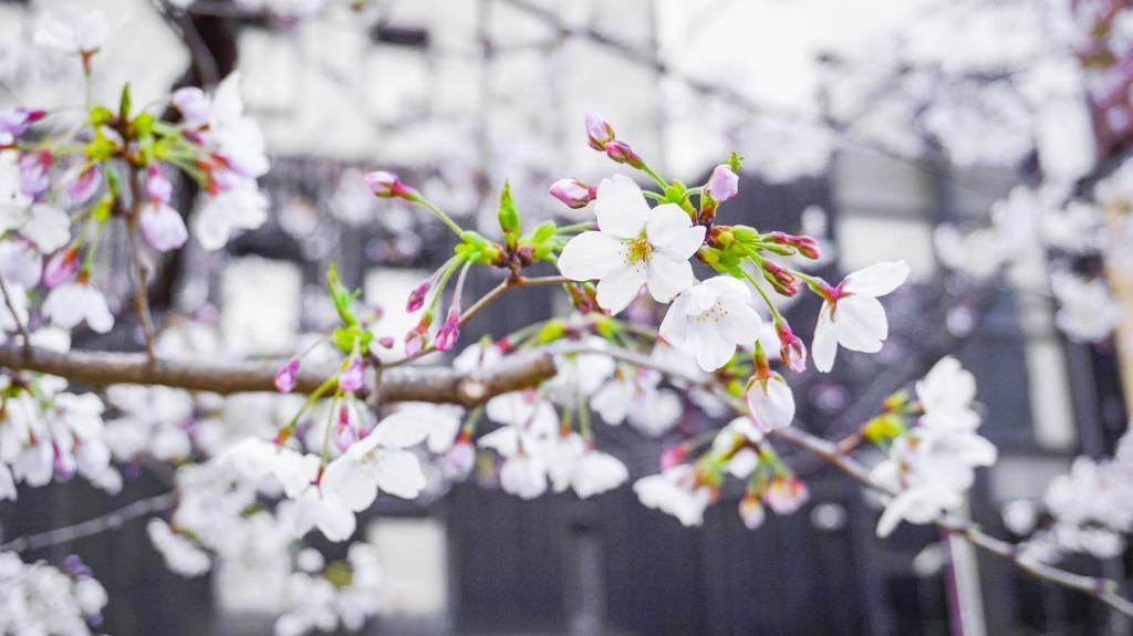 α5100で撮影した京都の桜